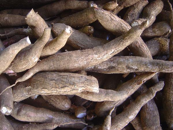 gluten free tapioca root
